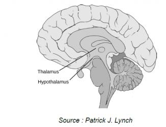 interieur cerveau